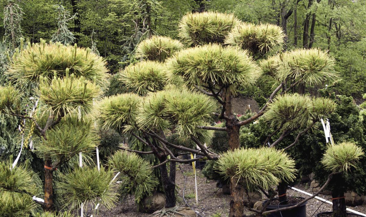 Specimen Plants from Beall's Nursery